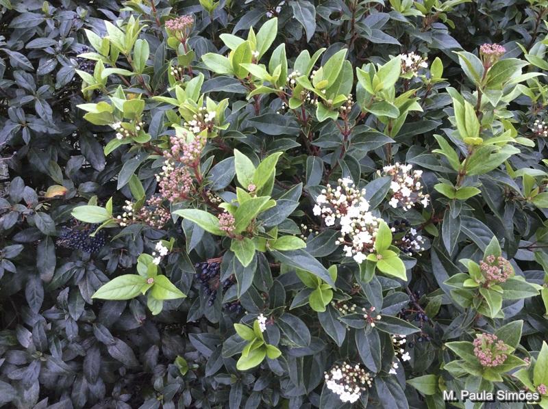 viburnum tinus caprifoliaceae arbustos e lianas