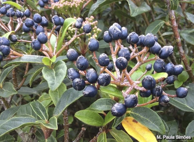 Viburnum tinus caprifoliaceae arbustos e lianas for Especies de arbustos