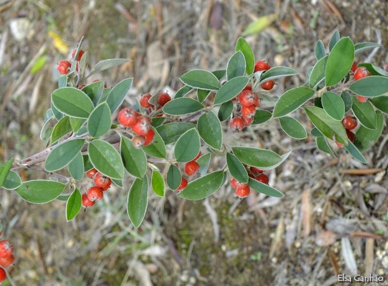 Cotoneaster pannosus rosaceae arbustos e lianas - Especies de arbustos ...